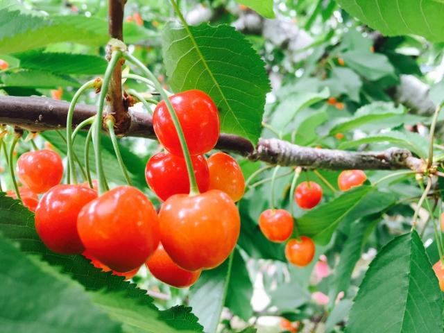 桜とサクランボの木の違いって?サクランボの種は栽培できる?!